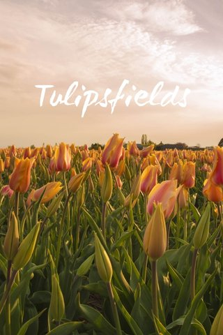 Tulipsfields