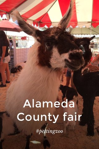 Alameda County fair #pettingzoo