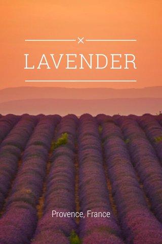 LAVENDER Provence, France