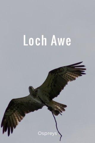 Loch Awe Ospreys