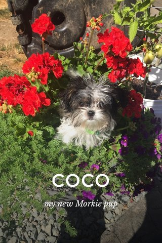 COCO my new Morkie pup