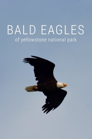 BALD EAGLES of yellowstone national park