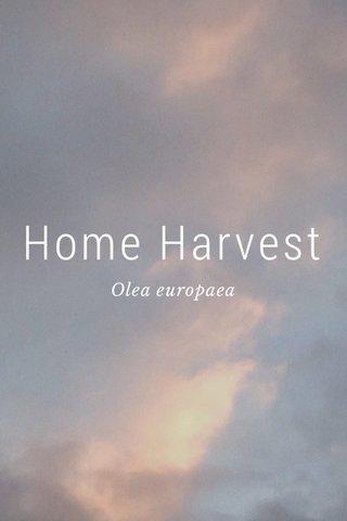 Home Harvest Olea europaea