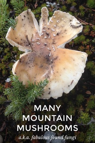 MANY MOUNTAIN MUSHROOMS a.k.a. fabulous found fungi
