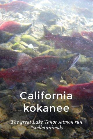 California kokanee The great Lake Tahoe salmon run #stelleranimals