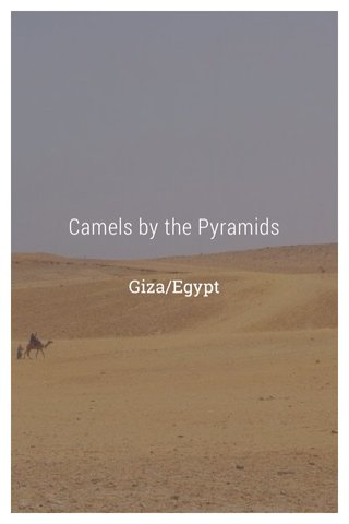 Camels by the Pyramids Giza/Egypt