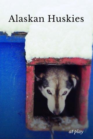 Alaskan Huskies at play