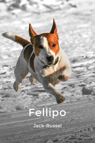 Fellipo Jack-Russel