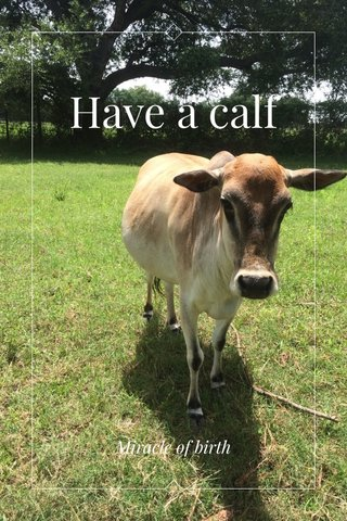 Have a calf Miracle of birth
