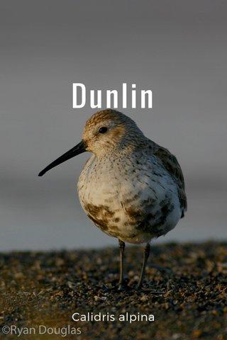 Dunlin Calidris alpina
