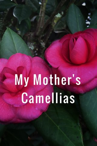 My Mother's Camellias