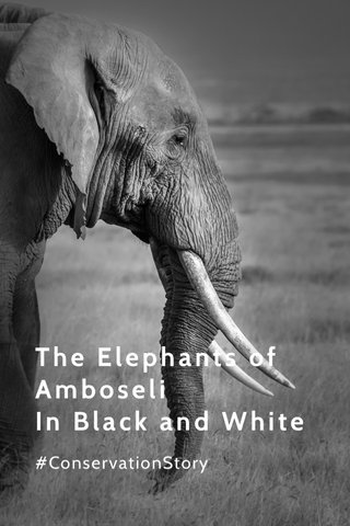 The Elephants of Amboseli In Black and White