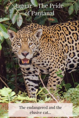 Jaguar - The Pride of Pantanal The endangered and the elusive cat...
