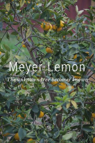 Meyer Lemon The unknown tree becomes known
