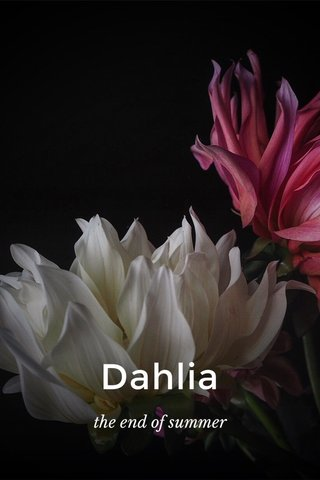Dahlia the end of summer