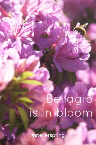 Bellagio is in bloom #stellerspring