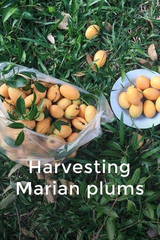 Harvesting Marian plums