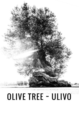 OLIVE TREE ~ ULIVO art made by nature