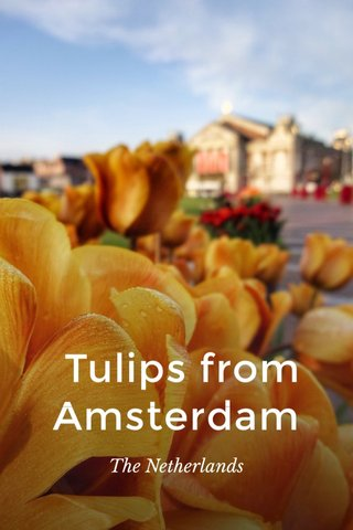 Tulips from Amsterdam The Netherlands