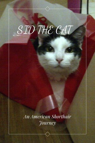 SID THE CAT An American Shorthair Journey