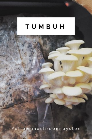 TUMBUH Yellow mushroom oyster