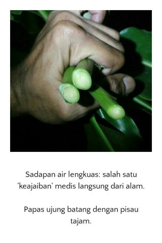 Sadapan air lengkuas: salah satu 'keajaiban' medis langsung dari alam. Papas ujung batang dengan pisau tajam.