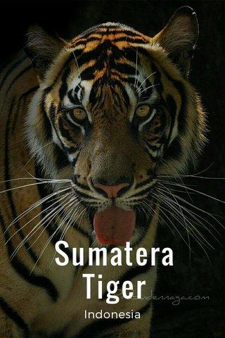 Sumatera Tiger Indonesia