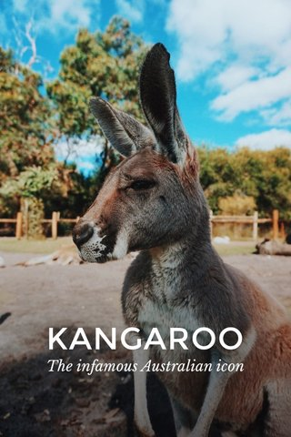 KANGAROO The infamous Australian icon