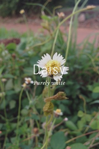 Daisy Purely white