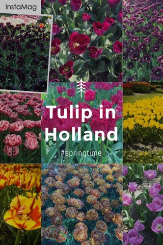 Tulip in Holland #springtime