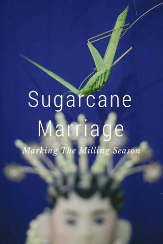 Sugarcane Marriage Marking The Milling Season