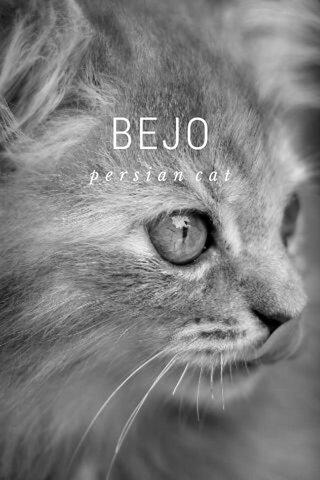 BEJO persian cat