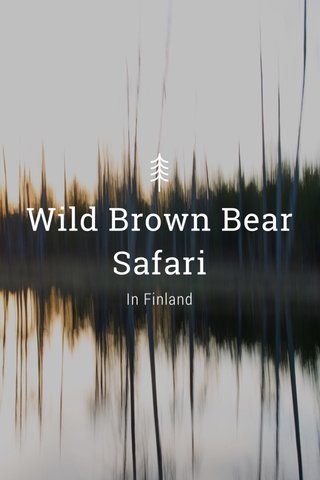 Wild Brown Bear Safari In Finland