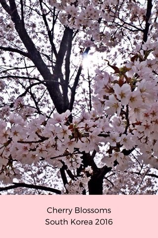 Cherry Blossoms South Korea 2016