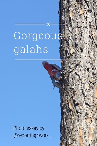 Gorgeous galahs Photo essay by @reporting4work