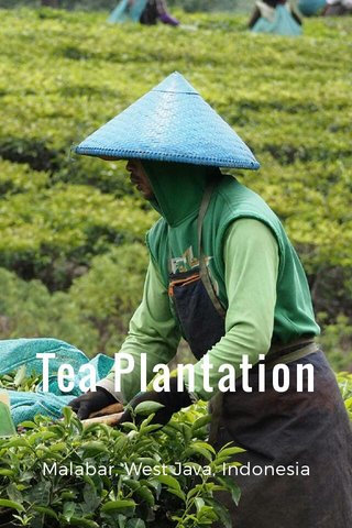 Tea Plantation Malabar, West Java, Indonesia