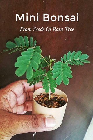 Mini Bonsai From Seeds Of Rain Tree