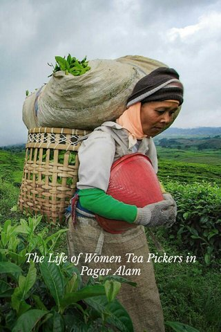 The Life of Women Tea Pickers in Pagar Alam