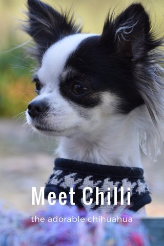Meet Chilli the adorable chihuahua