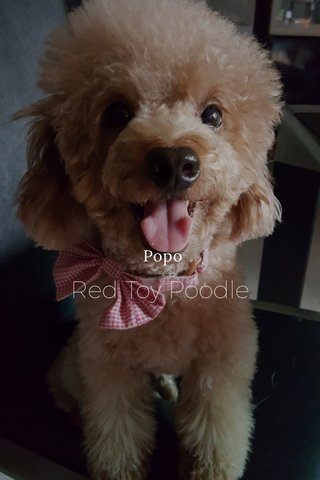Red Toy Poodle Popo