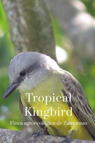 Tropical Kingbird Finca agroecológica de Zamorano