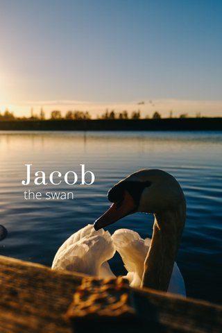Jacob the swan