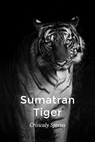 Sumatran Tiger Criticaly Species