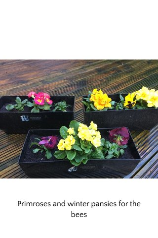 Primroses and winter pansies for the bees