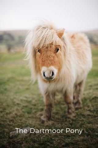 The Dartmoor Pony